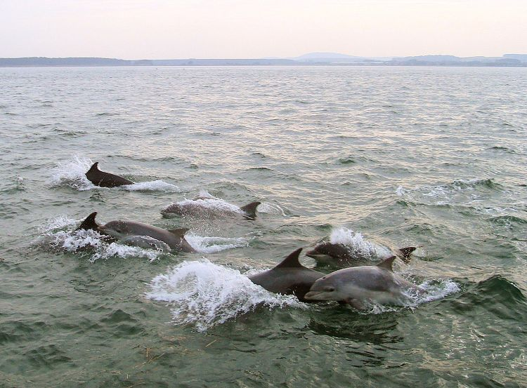 Large pod of River Tay Dolphins