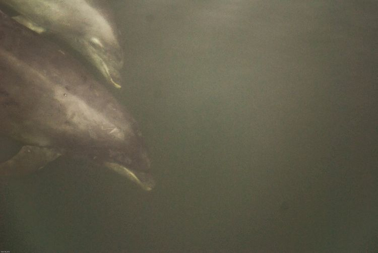 Two dolphins sounding below boat